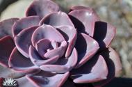 Echeveria 'Dusty Rose'